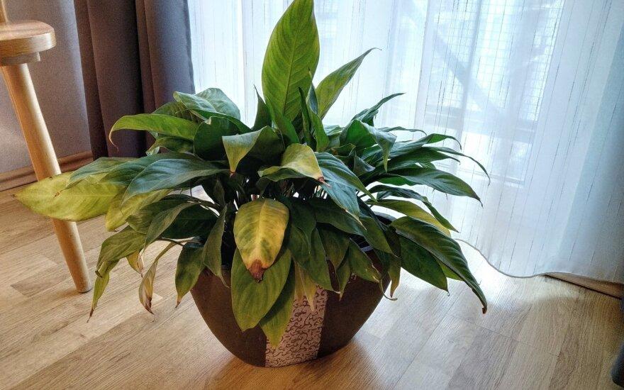 Kambarinių augalų ligos