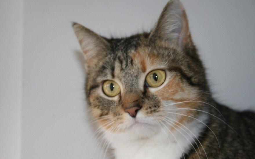 Žavi katytė Bazilika ieško namų
