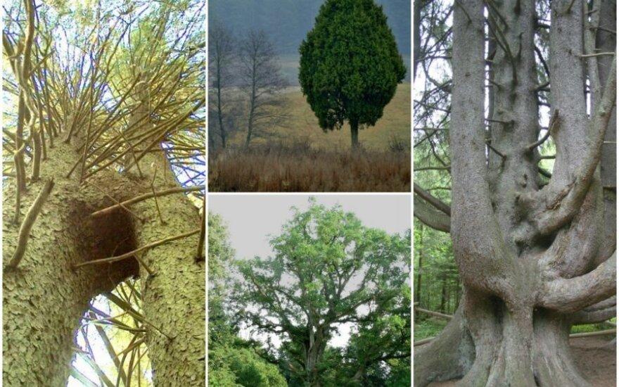 Gražiausi Lietuvos medžiai