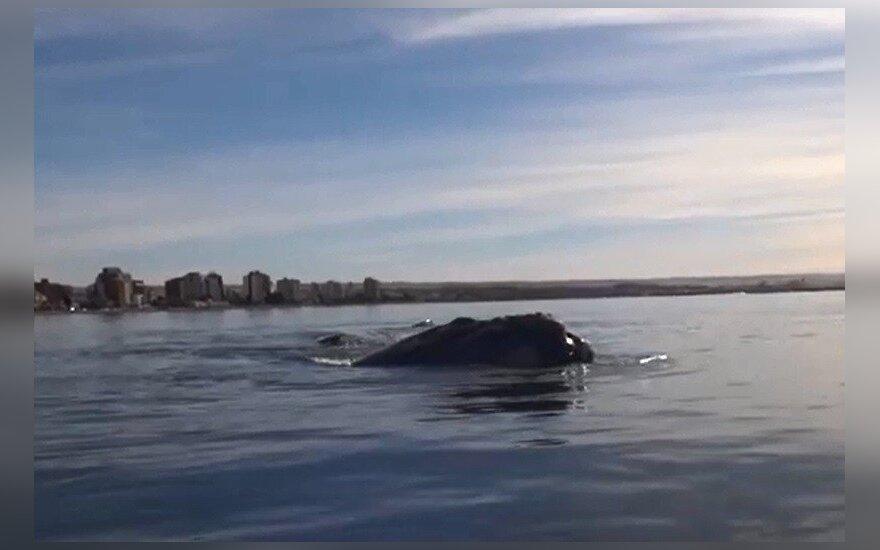 Banginiai, kuriuos sutiko baidarininkai