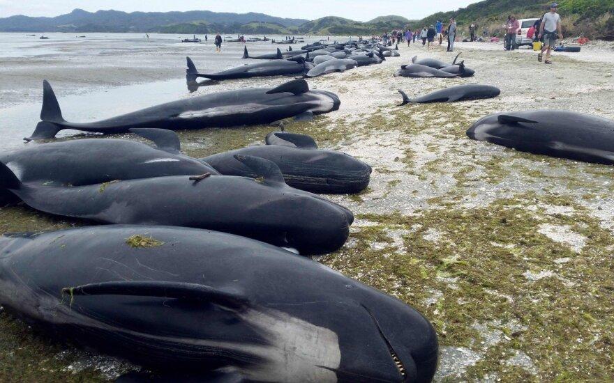 Naujojoje Zelandijoje į krantą iššoko daugiau kaip 400 banginių