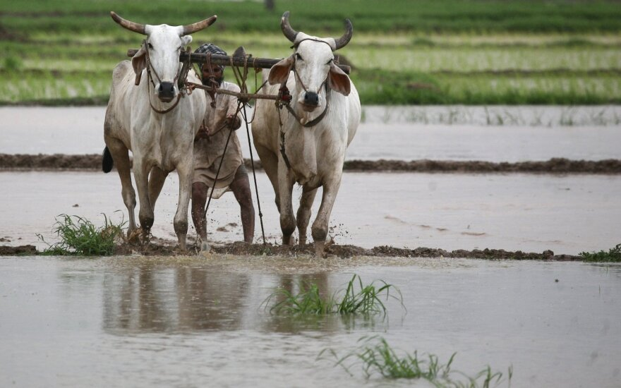 Indijos ūkininkas aria patvinusius laukus.