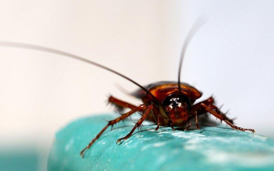 Posovietinėse šalyse sparčiai nyksta tarakonai: mokslininkai turi daug hipotezių, o faktų – ne