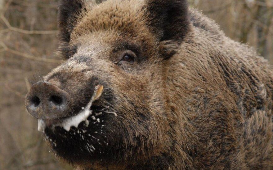 Lietuvoje aptiktas afrikinis kiaulių maras