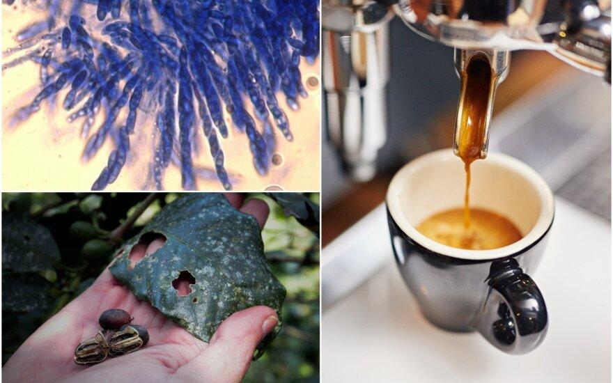 Kavos džiūtį sukelia grybelis, dėl kurio nuo praėjusio amžiaus trečiojo dešimtmečio kyla pražūtingi ligos protrūkiai Užsahario Afrikoje, ir dabar kenkia populiariausioms kavos rūšims: arabika ir robusta. CABI/Shutterstock nuotr.