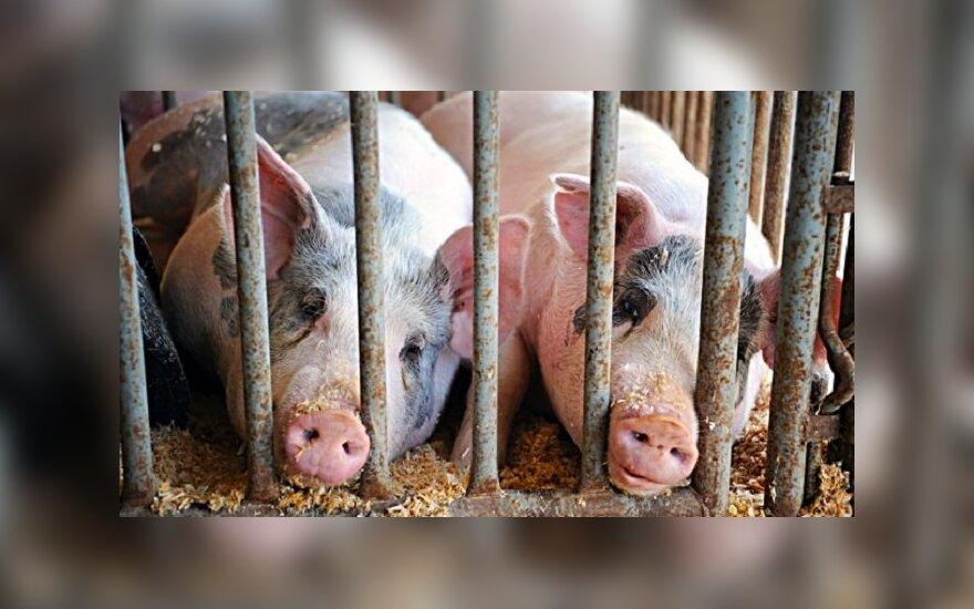 Lietuva kratosi atliekų iš kiaulių maro židinių Latvijoje