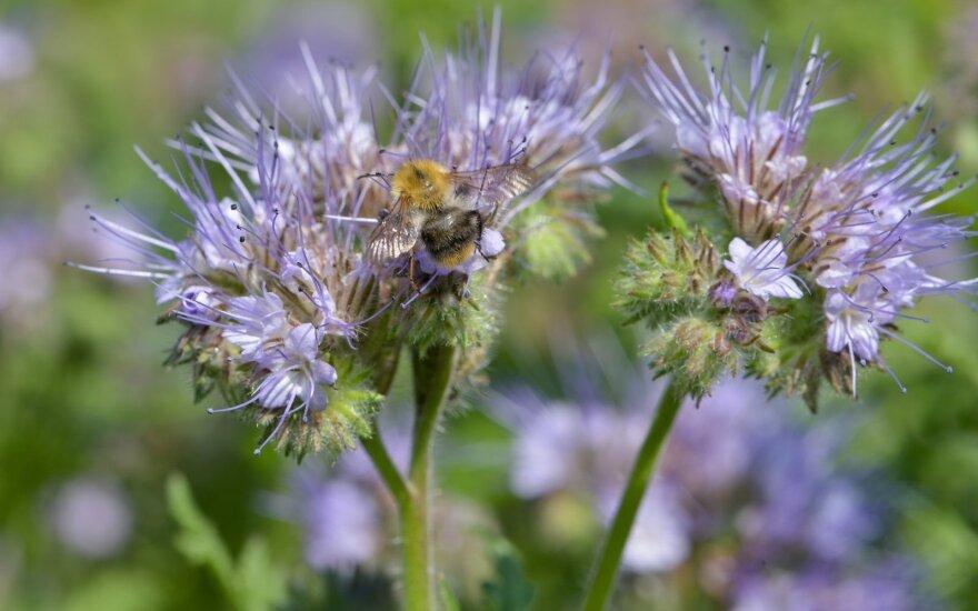 Kamanės bitines facelijas lanko kartu su bitėmis, drugiais