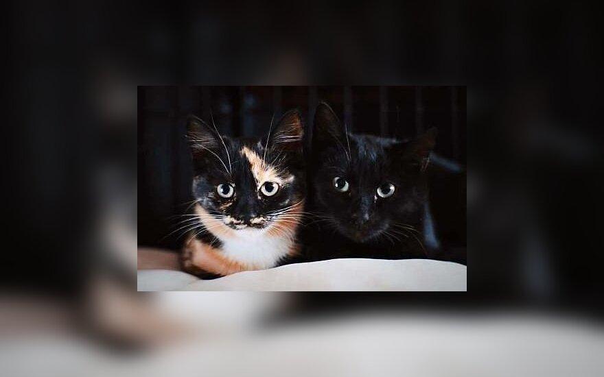 Keturių mėnesių kačiukai Bela ir Bonis ieško namų