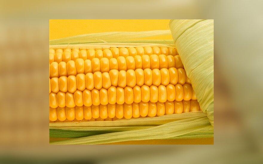 ES valstybės narės priešinasi EK pasiūlymams dėl GMO pasėlių