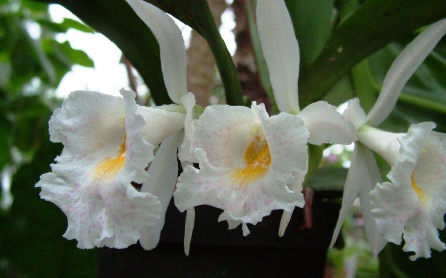 Lietuvos edukologijos universiteto oranžerijoje pražydo dvi retos orchidėjos