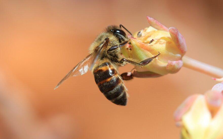 Šią savybę turinčios Apis mellifera capensis bitės slapta įsibrauna į Apis mellifera scutella avilius ir pradeda gaminti savo kopijas (motinėlės nereikia). Beje, klonai yra tikri veltėdžiai ir atsisako dirbti. Shutterstock/Wikipedia Discott nuotr.