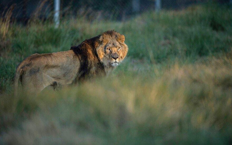 Liūtas Sylvesteris
