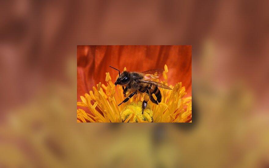 Bitė, bitės, medus, žiedadulkės