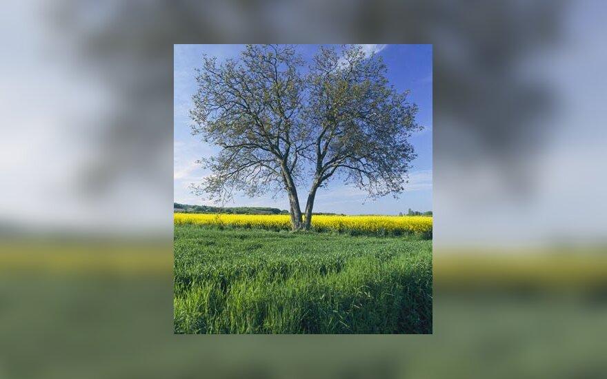 Kaimas, medis