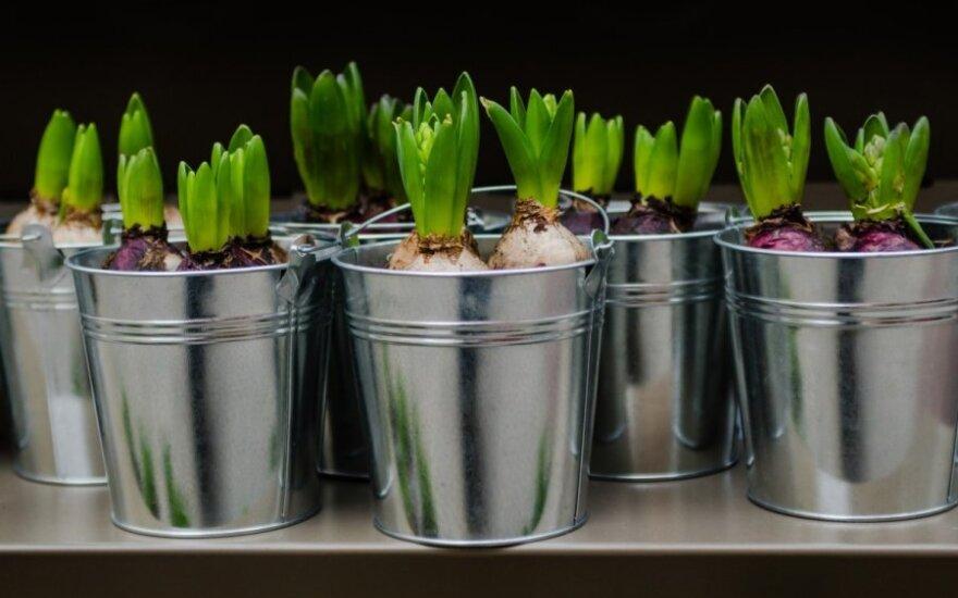 Kalėdiniai augalai namuose: galite pakenkti savo sveikatai