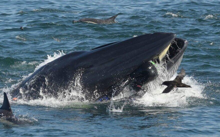 Banginio burnoje atsidūrė visa viršutinė Rainerio Schimpfo kūno dalis