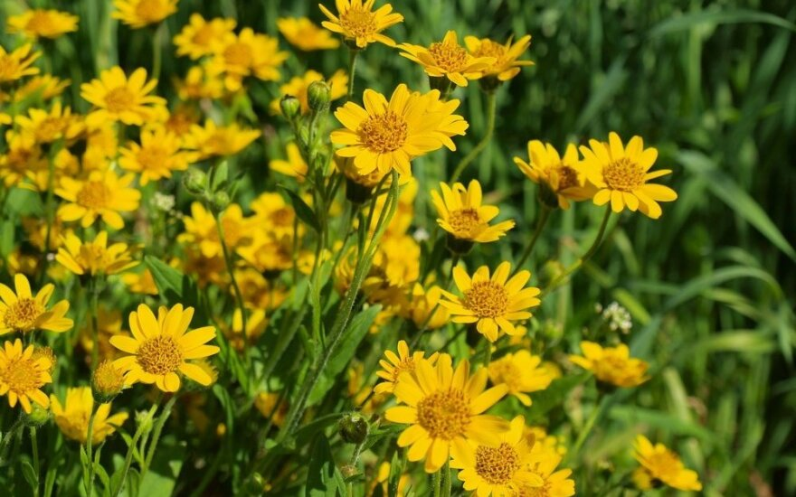 Kalninė arnika – kaip auginti ir ką mėgsta