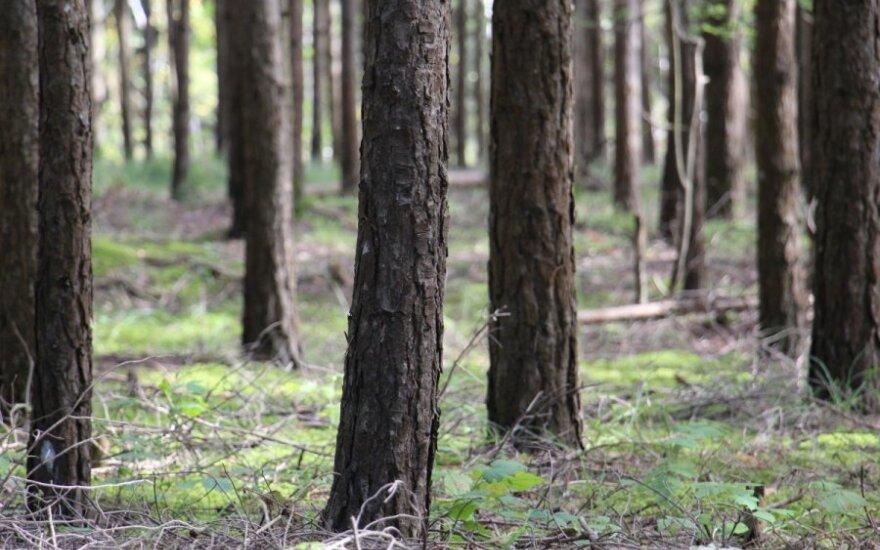 Kėdainių r. virsdamas medis užmušė žmogų