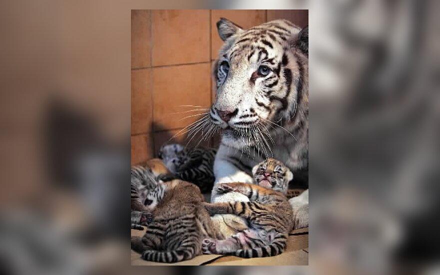 Bengalijos tigrai