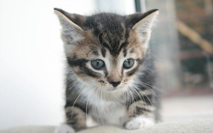 Bengaliukas gali būti jūsų namų kačiukas