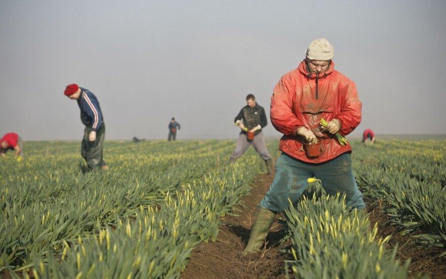 Emigrantai, dirbantys narcizų laukuose D. Britanijoje