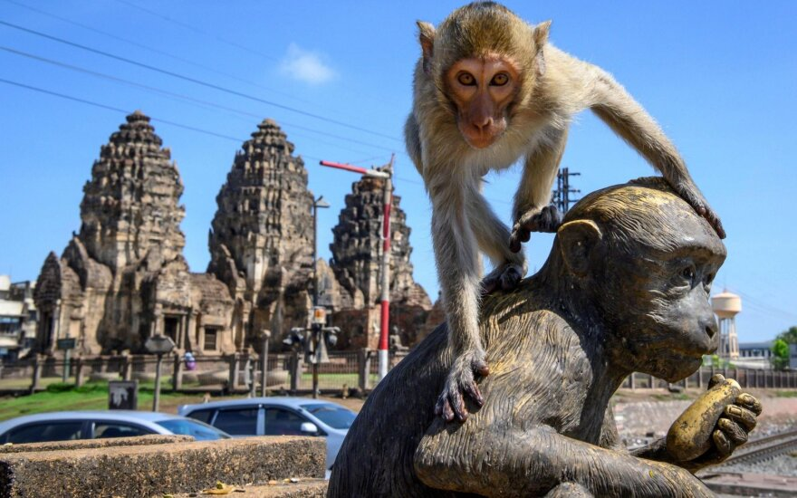 Koronaviruso padariniai: beždžionių gaujos okupavo visą miestą