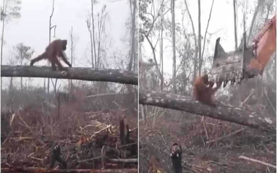 Orangutanas kovoja prieš miško kirtimą