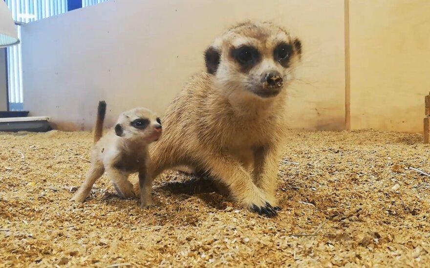 Surikatų jaunikliai Vilniaus zoologijos sode