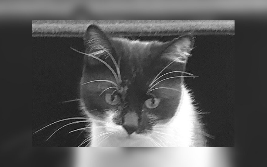 Vilniuje dingo katinėlis