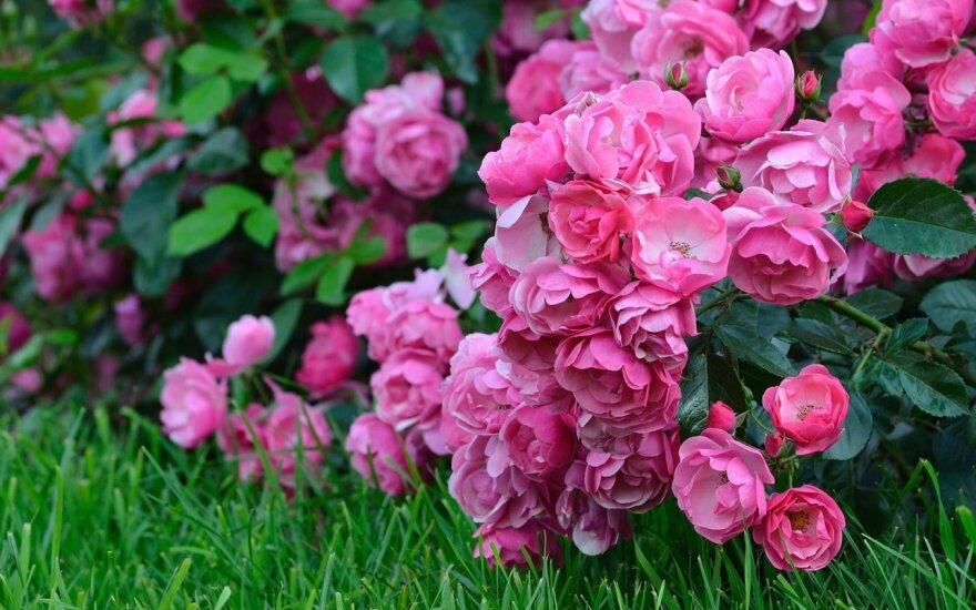 Gėlių palieti vien vandeniu – nepakaks
