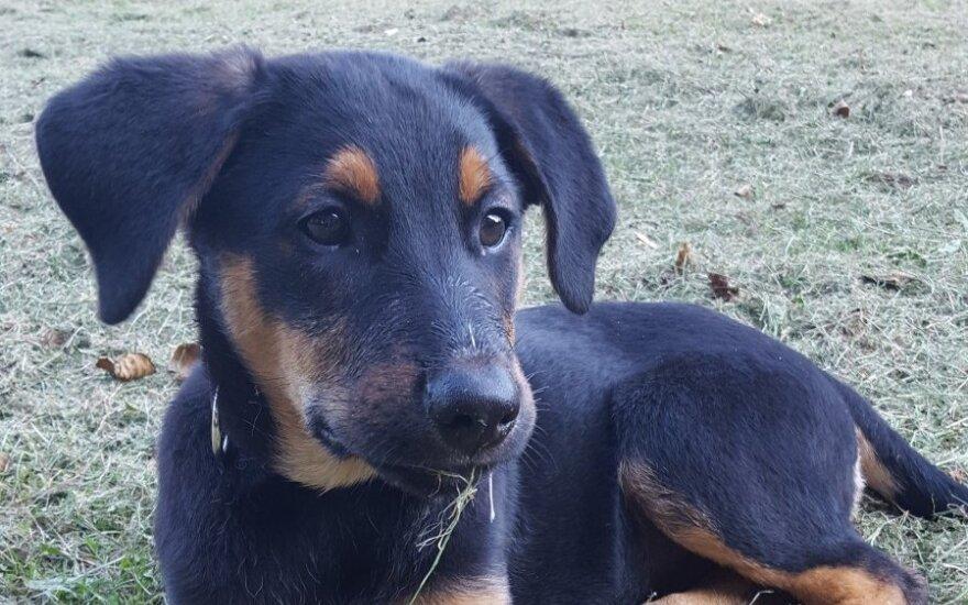 Druskininkuose dingo šuniukas