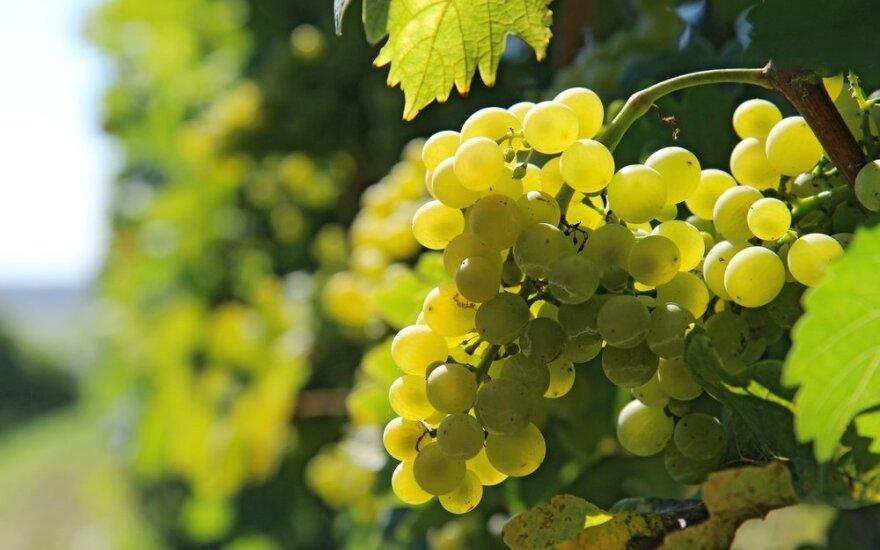 Ką reiktų žinoti apie baltojo vyno vynuoges
