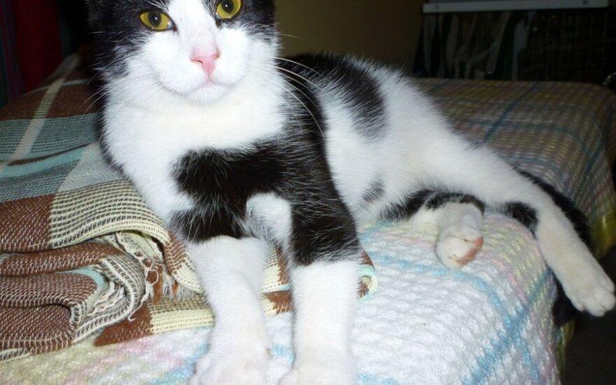 Inteligentiškas 6 mėn. katinėlis Šopenas ieško namų!