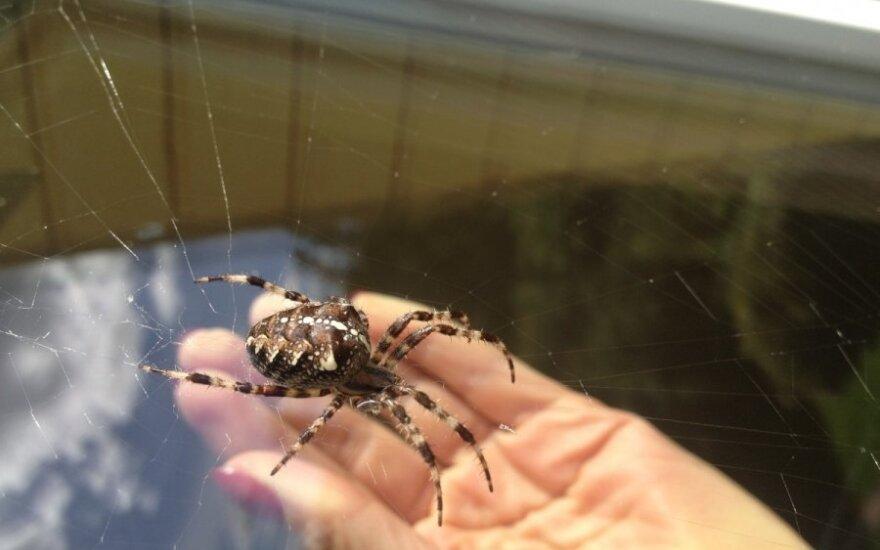 Staigmena ant lango – milžiniškas voras