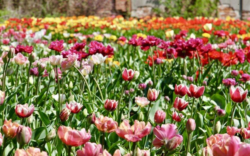 VDU Botanikos sodo tulpių ekspozicija