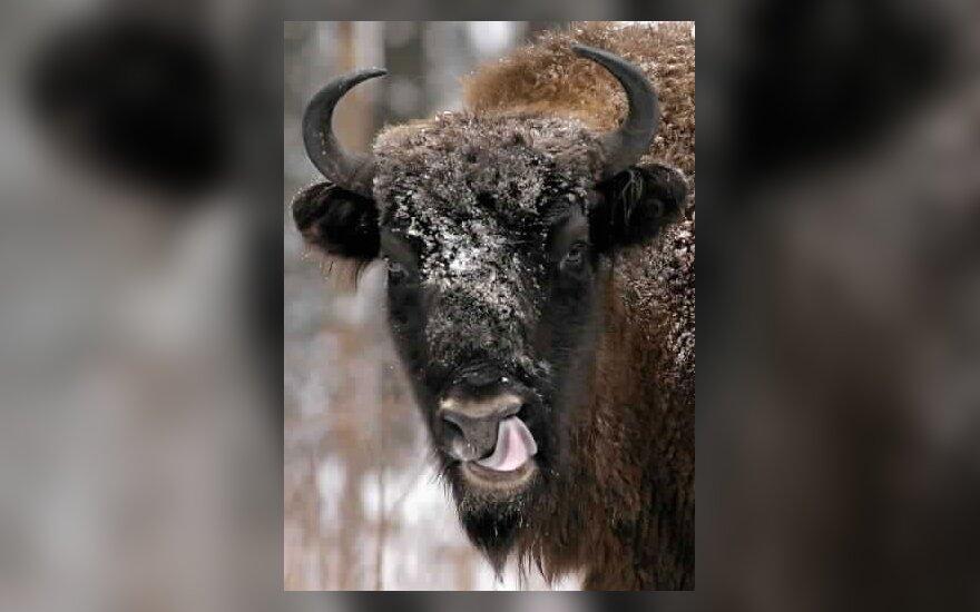 Kelmė plečiasi nepalikdama vietos bizonams