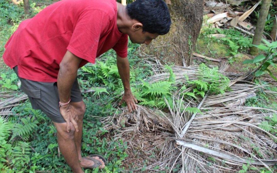 Ūkininkas rodo kaip palmės pačios pasitręšia savais lapais