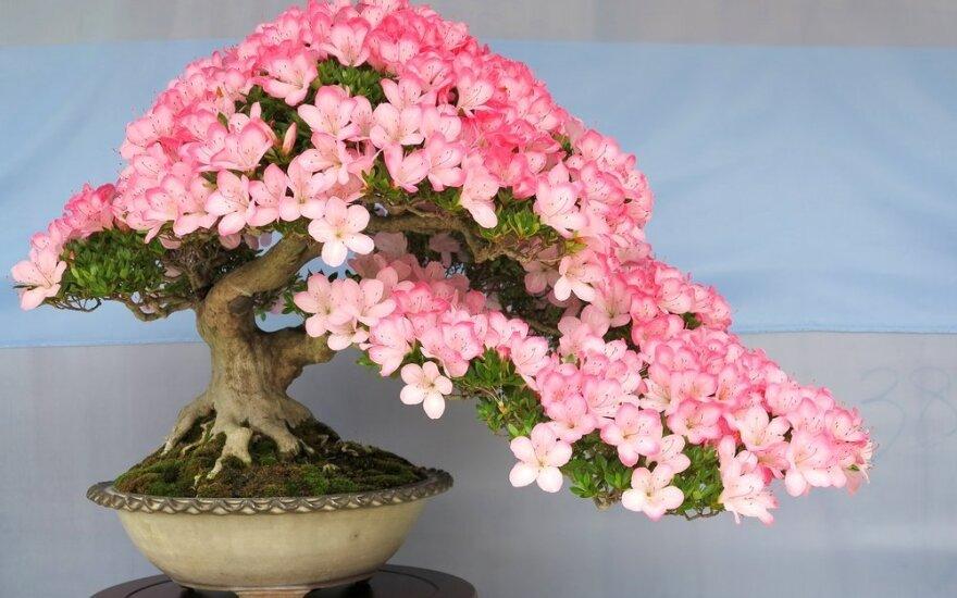 Kurti bonsai medelius lietuvius mokys vienas garsiausių pasaulio meistrų
