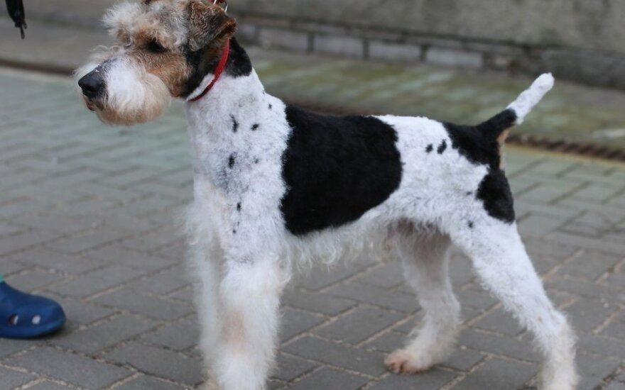 Kas pametėte gražuolį šunį?