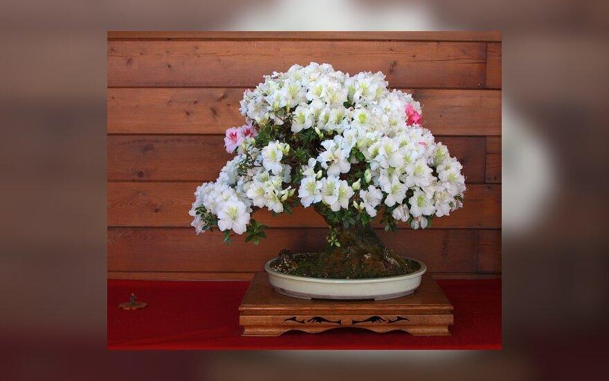 Žydintis bonsai medelis