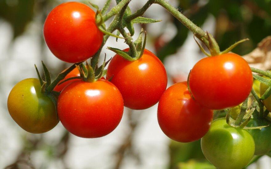Sodininkės eksperimentas skiepijant pomidorus: gausesnis derlius ir galimybė mažiau laistyti