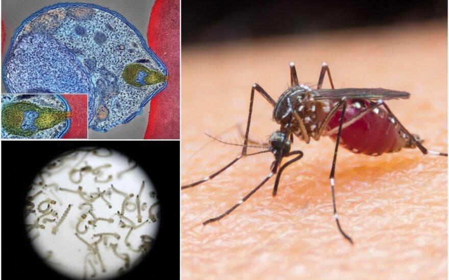Uodai visame pasaulyje platina įvairius ligų sukėlėjus, tačiau kol kas Lietuvoje itin pavojingų ligų protrūkių neužfiksuota. Scanpix/Wikipedia/Shutterstock nuotr.