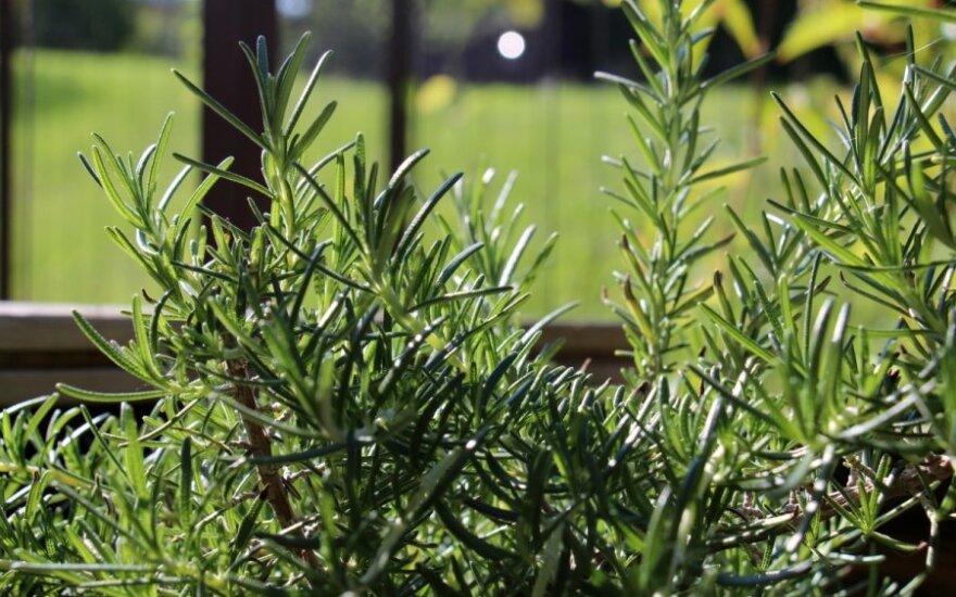 Prieskoniniai augalai savame darže – kaip auginti ir kur naudoti