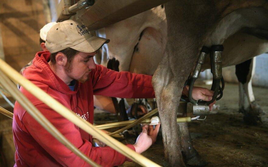 Karvės melžimas