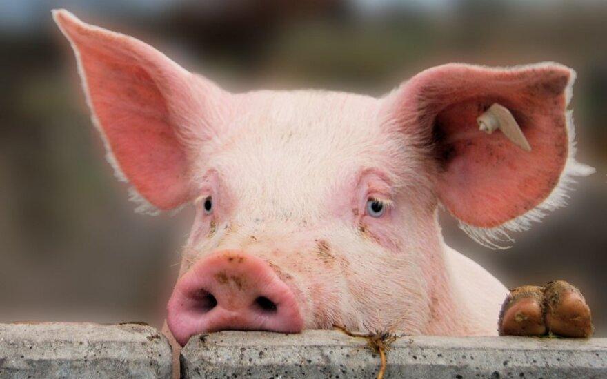 Rusijai tapus PPO nare, lietuviškos kiaulės važiuos laisviau, bet pigesnių dujų nelaukiama