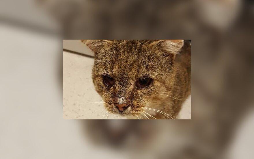 Katinas Vaidukas iš Vaidotų ieško namų