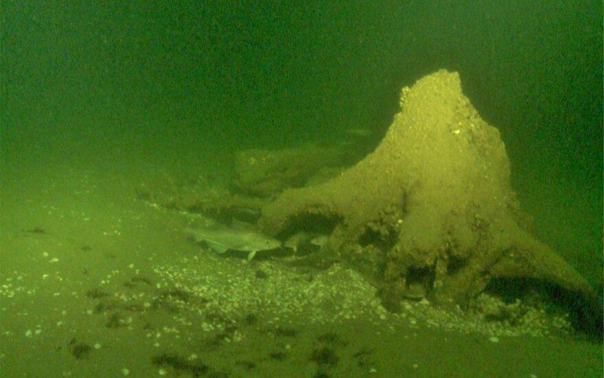 Baltijos jūroje netoli Juodkrantės aptikti kelmai, kurie atskleidė, jog šioje vietoje prieš 9-11 tūkst. metų į viršų stiebėsi pušys
