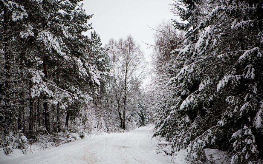 Klaipėdos r. moteris savo miške pasigedo ten augusio ąžuolo