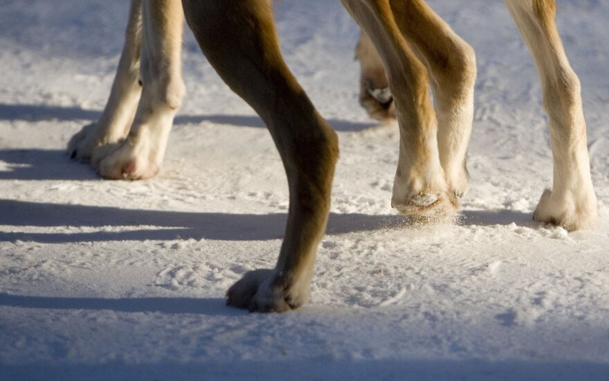 Šuns kojos