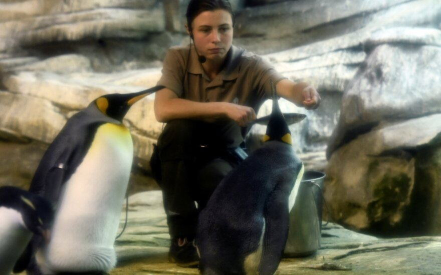 Pingvinai peri kiaušinį